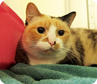 Domestic Shorthair Cat for adoption in Eastsound, Washington - Amelia