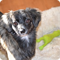 Adopt A Pet :: Athena - Springfield, VA