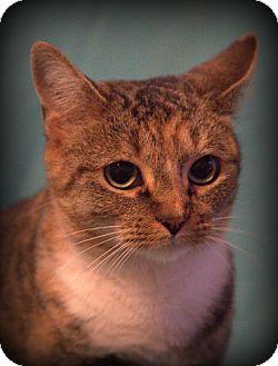 Calico Cat for adoption in Staunton, Virginia - Snookie