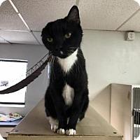 Adopt A Pet :: Vangough - Bradenton, FL