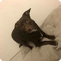 Adopt A Pet :: Leona - Rocky Hill, CT