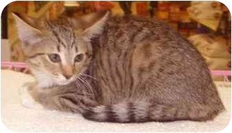 Domestic Shorthair Cat for adoption in Dale City, Virginia - Sheeba