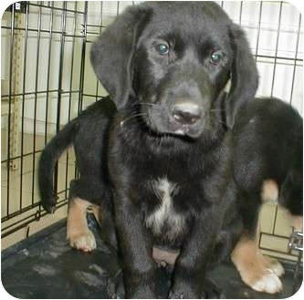 Labrador Retriever Mix Puppy for adoption in Starkville, Mississippi - Elsie