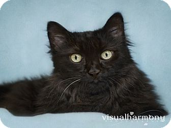 Maine Coon Cat for adoption in Phoenix, Arizona - Big Papi