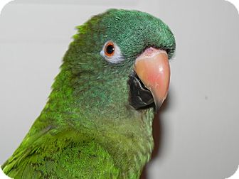 Conure for adoption in St. Louis, Missouri - Sydney Elizabeth