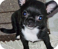 Chihuahua Mix Puppy for adoption in AUSTIN, Texas - ONYX