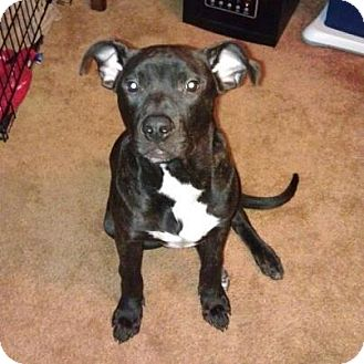 American Pit Bull Terrier Dog for adoption in Elderton, Pennsylvania - Rhys