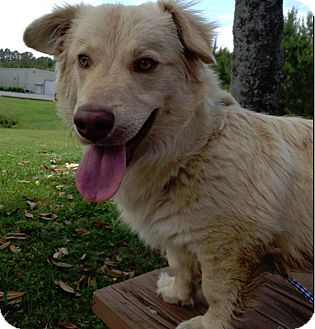 Corgi/Golden Retriever Mix Dog for adoption in Manhasset, New York - Oliver
