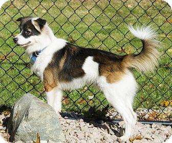 Border Collie/Sheltie, Shetland Sheepdog Mix Dog for adoption in Brooklyn, New York - Lovely Lenny