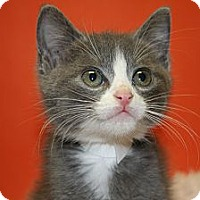 Adopt A Pet :: ASIA - SILVER SPRING, MD