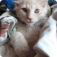 Adopt A Pet :: TAFFY-PetsMart Kitty - Scottsdale, AZ