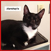 Domestic Shorthair Cat for adoption in Miami, Florida - Hershey's