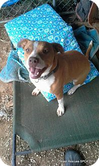 American Pit Bull Terrier Dog for adoption in SAN ANTONIO, Texas - Jewels B. Precious