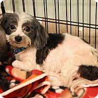 Adopt A Pet :: Raj - Troy, MI