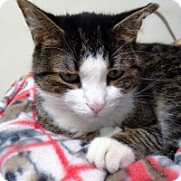 Domestic Shorthair Cat for adoption in Chicago, Illinois - Misty