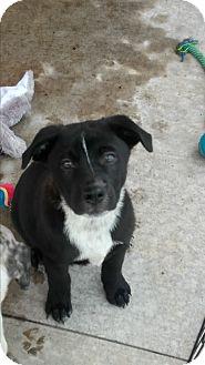 Akita/German Shorthaired Pointer Mix Puppy for adoption in Spring, Texas - Dakota