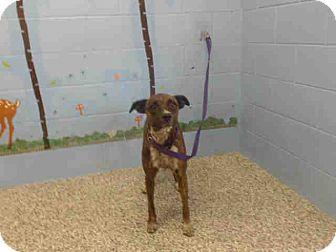 Pit Bull Terrier Mix Dog for adoption in San Bernardino, California - URGENT on 8/12 SAN BERNARDINO