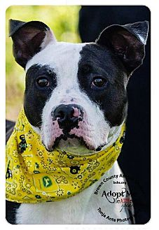 Pit Bull Terrier Mix Dog for adoption in Georgetown, Ohio - Riddick
