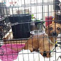Adopt A Pet :: DORA - Lubbock, TX