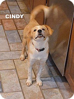 Retriever (Unknown Type)/Cattle Dog Mix Puppy for adoption in Spring, Texas - Cindy