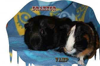 Guinea Pig for adoption in Walker, Louisiana - Vamp