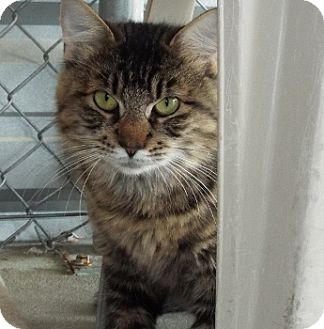 Domestic Longhair Cat for adoption in Grants Pass, Oregon - Poly