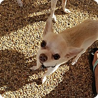 Chihuahua Mix Dog for adoption in Goodyear, Arizona - Sammie