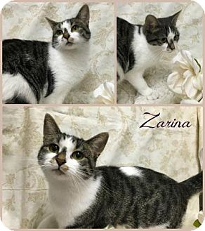 Domestic Shorthair Cat for adoption in Joliet, Illinois - Zarina