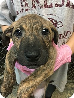 Labrador Retriever/American Bulldog Mix Puppy for adoption in Pompton Lakes, New Jersey - Emily's Puppies