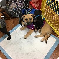 Adopt A Pet :: Noel - Garner, NC