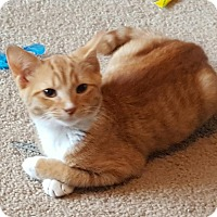 Domestic Shorthair Kitten for adoption in Mooresville, North Carolina - A..  Orsona