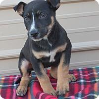 Adopt A Pet :: Joey - Mayflower, AR