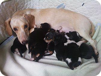 Dachshund Mix Dog for adoption in Houston, Texas - MADONNA