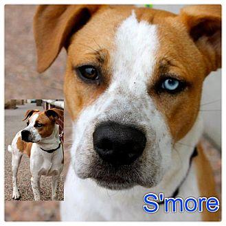 American Bulldog/Husky Mix Puppy for adoption in Garden City, Michigan - Smore