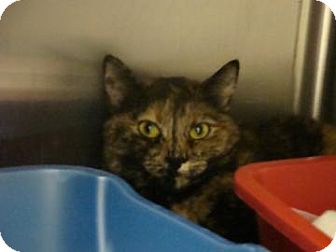 Domestic Shorthair Cat for adoption in Gainesville, Florida - Leila