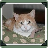 Domestic Shorthair Cat for adoption in Midland, Texas - Kit Kat