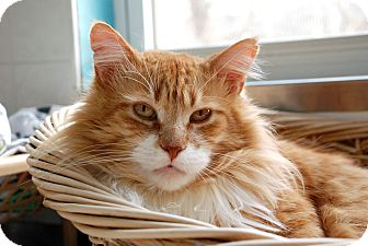 Domestic Longhair Cat for adoption in Chicago, Illinois - Bertie