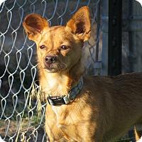 Adopt A Pet :: Arrow - Meridian, ID