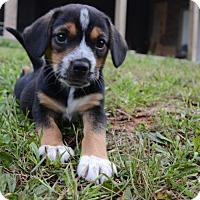 Adopt A Pet :: Duckie - Bedminster, NJ