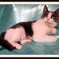 Domestic Shorthair Cat for adoption in St. Louis, Missouri - Marianna