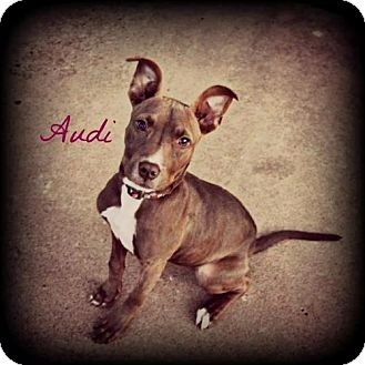American Pit Bull Terrier Mix Dog for adoption in Weatherford, Oklahoma - Audi