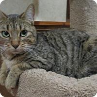 Adopt A Pet :: Jasmine (pure-bred Bengal) - Witter, AR