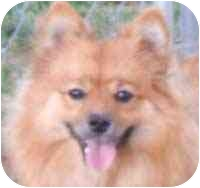 Pomeranian Dog for adoption in Chesapeake, Virginia - Sammi in KY