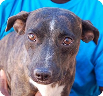 Whippet/Beagle Mix Dog for adoption in Las Vegas, Nevada - Bindi