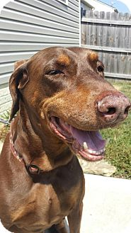 Doberman Pinscher Dog for adoption in Columbus, Ohio - Wags