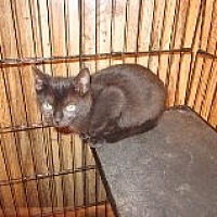Domestic Shorthair Kitten for adoption in Delmont, Pennsylvania - Smudge
