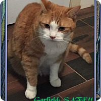 Domestic Shorthair Cat for adoption in Buford, Georgia - Garfield