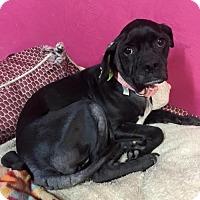 Adopt A Pet :: Hershey - York, SC