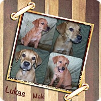 Adopt A Pet :: Lukas Adoption pending - Manchester, CT