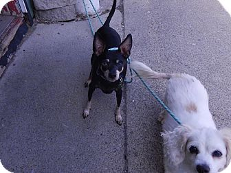 Miniature Pinscher Mix Dog for adoption in Lafayette, Indiana - Biscuit